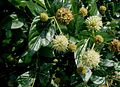 Cephalanthus-occidentalis.JPG