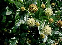 Cephalanthus-occidentalis