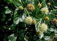 Cephalanthus-occidentalis