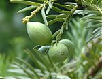 Cephalotaxus-harringtonia-green-fruits.jpg