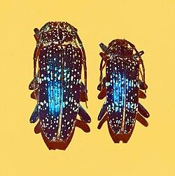 Cerambycidae - Sphingnotus insignis albertisi.JPG