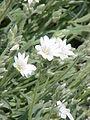 Cerastium tomentosum columnae0.jpg