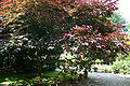 Cercis canadensis 'Forest Pansy' JPG1Ac.jpg