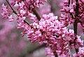 Cercis canadensis redbud mid profuse.jpg
