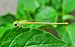Ceriagrion coromandelianum female 26052014.jpg