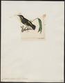 Certhiola luteola - 1820-1860 - Print - Iconographia Zoologica - Special Collections University of Amsterdam - UBA01 IZ19000439.tif
