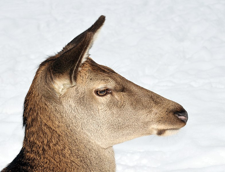 File:Cervus elaphus (female).jpg