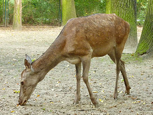 Barbary stag - A female (doe) at Tierpark Berlin