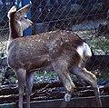 Cervus nippon in Mount Gozaisho zoo 1997-04-20.jpg