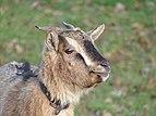 Chèvre naine - Sérent 8.jpg