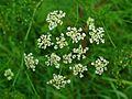 Chaerophyllum bulbosum 002.JPG