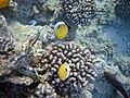 Chaetodon austriacus 3.jpg