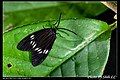 Chalcosia formosana contradicta (5727087084).jpg