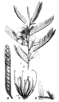 Chamaecrista fasciculata Taub89a