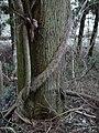 Chamaecyparis obtusa&Hedera rhombea、キヅタ、木蔦 DSCF6228.JPG