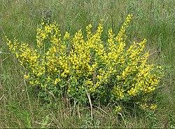 Chamaecytisus ruthenicus (in bloom).jpg