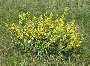 Chamaecytisus ruthenicus (in bloom).jpg