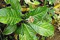 Chassalia curviflora 3880.jpg