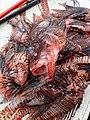 Chasse poisson lion.jpg