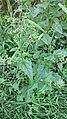 Chenopodium hybridum plant (11).jpg