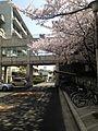 Cherry Blossoms in Hakozaki Campus, Kyushu University 20150330.jpg