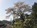 Cherry blossoms on platform of Onoya Station.jpg