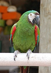 A green parrot with a white face, a maroon forehead, red shoulders, and blue-tipped wings