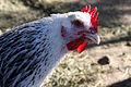 Chicken - (5947980209).jpg