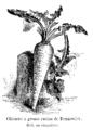 Chicorée à grosse racine de Brunswick Vilmorin-Andrieux 1904.png