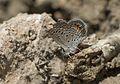 Chilades trochylus - Mücevher Kelebeği 01.jpg