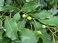 Chionanthus foveolatus subsp major, loof en vrugte, Manie vd Schijff BT, b.jpg