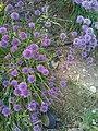 Chive Blossoms - panoramio.jpg