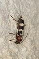 Chlorophorus trifasciatus (Cerambycidae) (8708384822).jpg