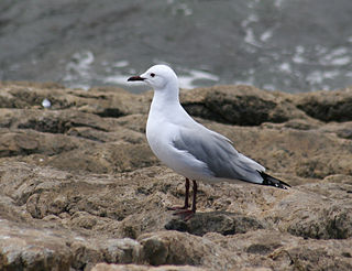 Hartlaubs gull Seabird in the family Laridae endemic to the Atlantic coast of South Africa and Namibia