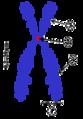 Chromosome-upright.png
