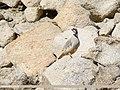 Chukar Partridge (Alectoris chukar) (40814220415).jpg
