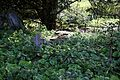 Church of St Mary Little Laver Essex England - churchyard overgrown fenced tomb and cross.jpg
