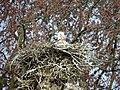 Cigogne blanche (Ciconia ciconia) (07).jpg