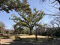 Cinnamomum camphora in Ishibashi Cultural Center.jpg
