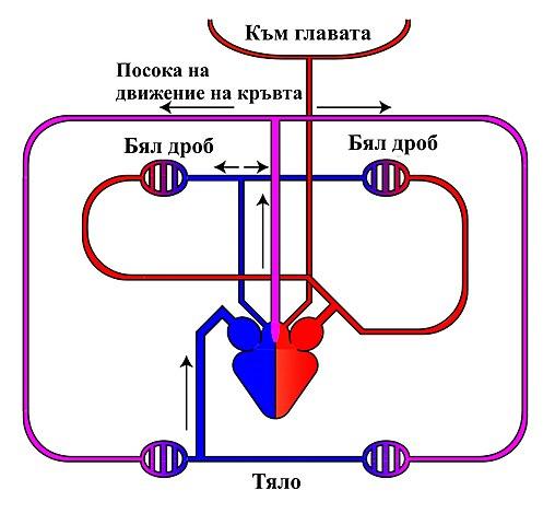 508px-Circulatory-system-reptiles-bg.jpg