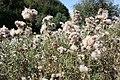 Cirsium arvense - Bliesen - Bauernstall - 2019-09-02, 3.jpg