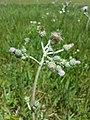 Cirsium brachycephalum sl12.jpg
