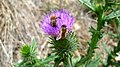 Cirsium vulgare flowers and honey bee 01.jpg
