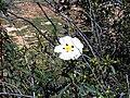 Cistus ladanifer Plant SierraMadrona.jpg