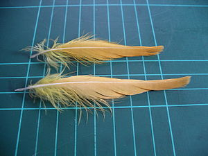 Citron crest feathers