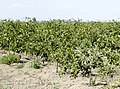 Citrus orchard - Turunçgil bahçesi.jpg
