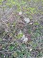 Clematis vitalba, Ranunculaceae.jpg