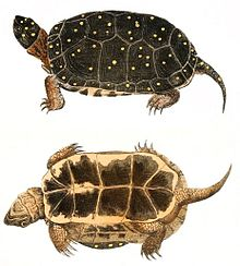 Two drawings of a spotted turtle that show both the top (carapace) and bottom (plastron). The claws are long and the turtle is dark in color