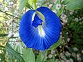 Clitoria ternatea butterfly pea flower at Bhadrachalam 02.JPG
