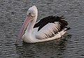 Clontarf Pelican posing for camera-1 (7861967548).jpg